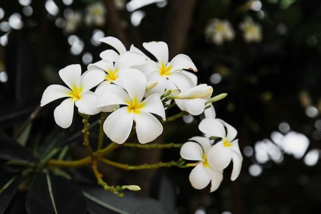Groep plumeriabloemen op zwarte achtergrond.