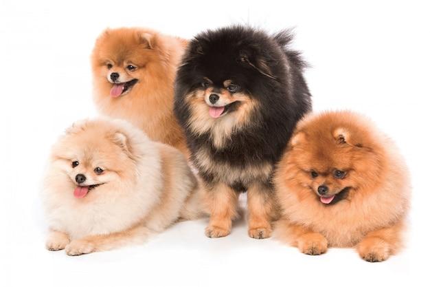 Groep pomeranian spitz honden