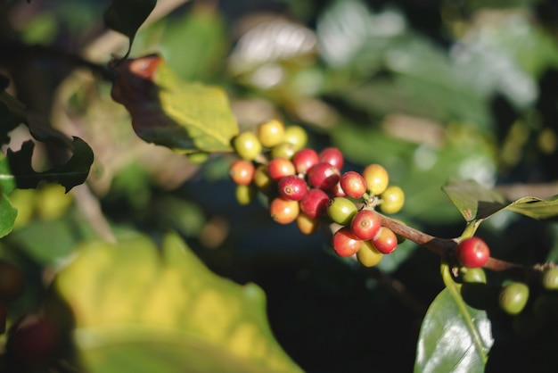 Groep rijpe en ruwe koffiebessen