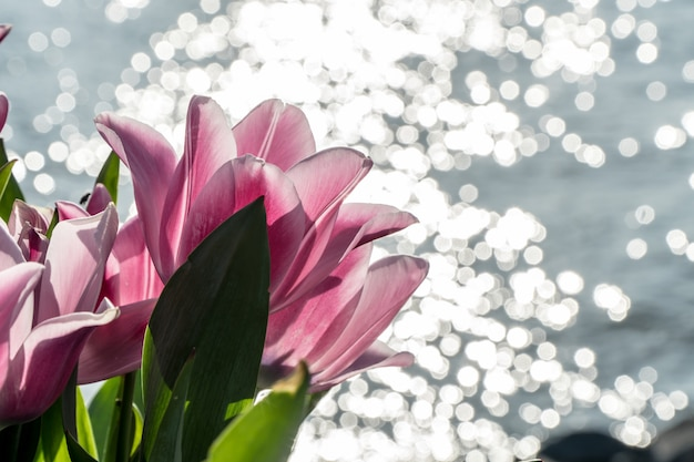 Groep roze tulpen