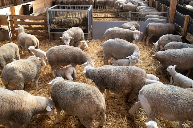 Groep schapen huisdieren in schuur die hun lamsbaby's voeden.