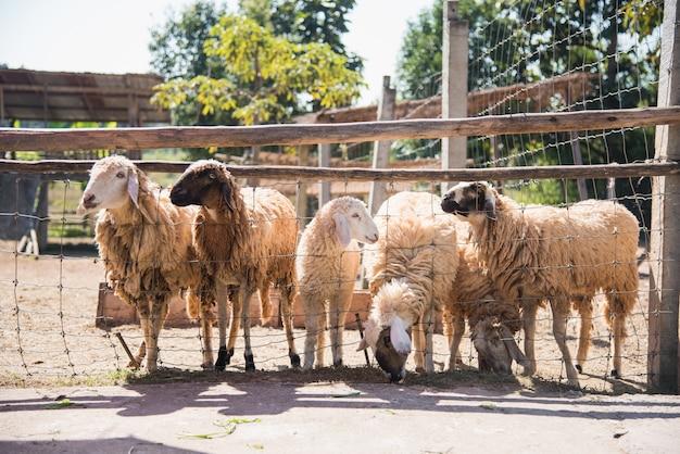 Groep schapen in boerderij