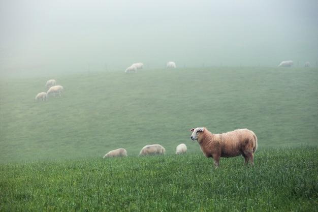 Groep schapen op een mistige groene weide