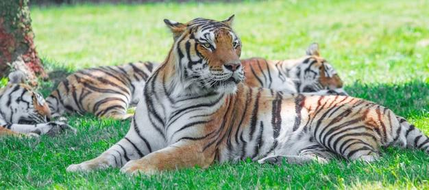 Groep tijger die in het gras ligt
