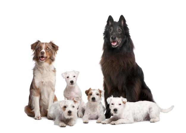 Groep van 5 honden; 4 parson russell terrier, een australische herder en een gemengd ras