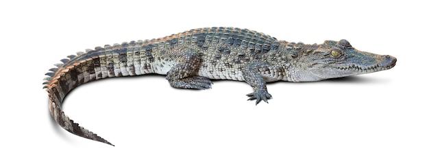 Groep van dieren in het wild krokodil geïsoleerd op white