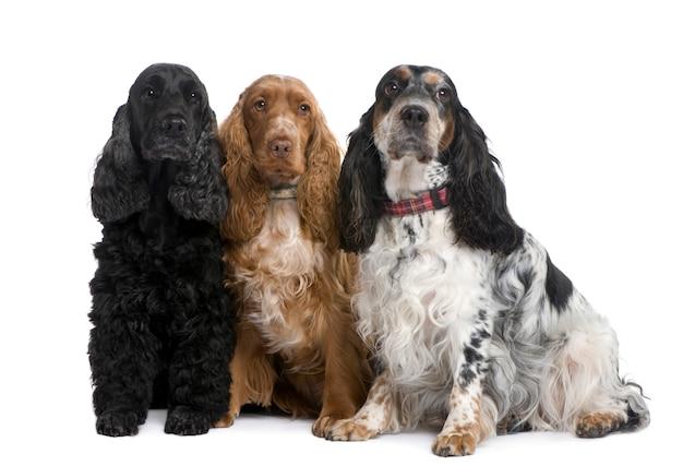 Groep van drie cocker-spaniëls