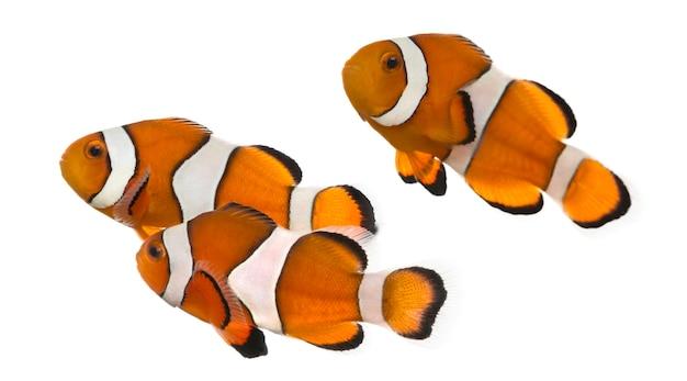 Groep van ocellaris anemoonvis, amphiprion ocellaris, geïsoleerd op wit