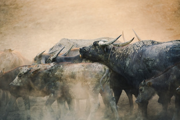 Groep van thaise buffalo hardlopen