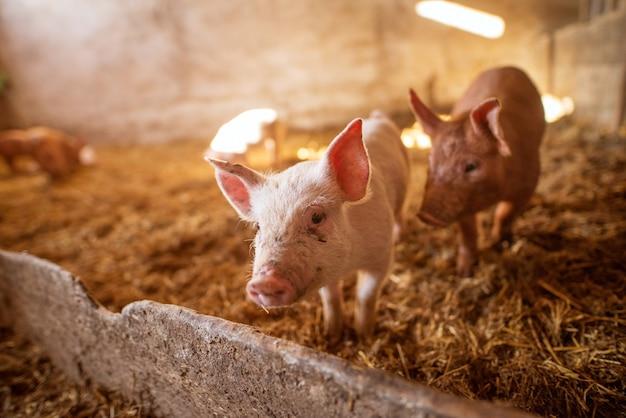 Groep van varkens op dierenboerderij.