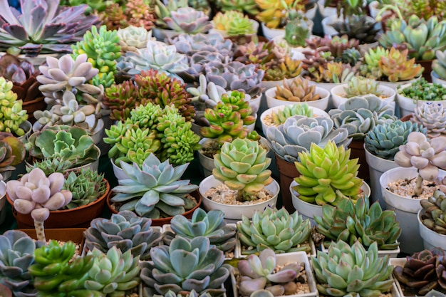 Groep van veel cactus in pot, een cactus is een lid van de plantenfamilie cactaceae