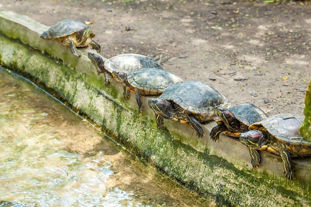 Groep van zes moerasschildpadden met rode oren