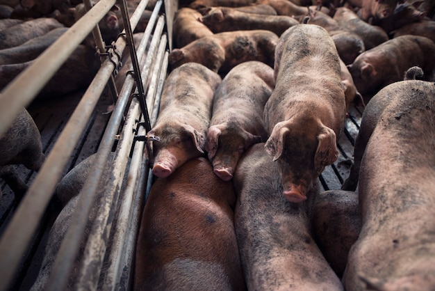 Groep varkens slapen op varkensboerderij