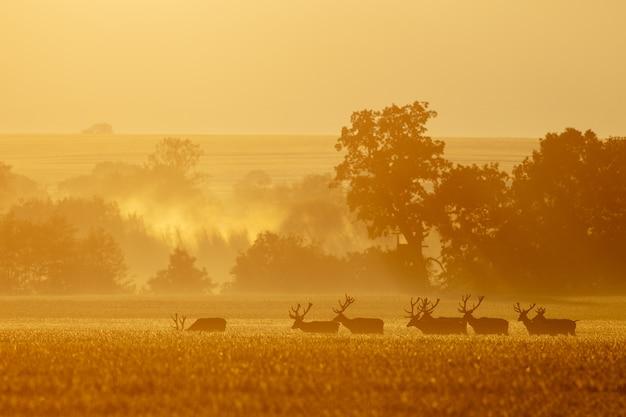 Groep veelvoudige edelhertenmannetjes die samen in de ochtendmist lopen