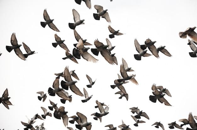 Groep vele duiven die in de grijze hemel vliegen