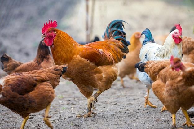 Groep volwassen gezonde rode en zwarte kippen en grote bruine haan buiten in pluimvee werf op zonnige dag. kippenhouderij, gezond vlees en eierenproductieconcept.