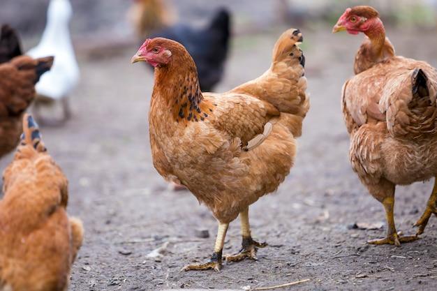 Groep volwassen gezonde rode en zwarte kippen en grote bruine haan buiten in pluimvee werf op zonnige dag