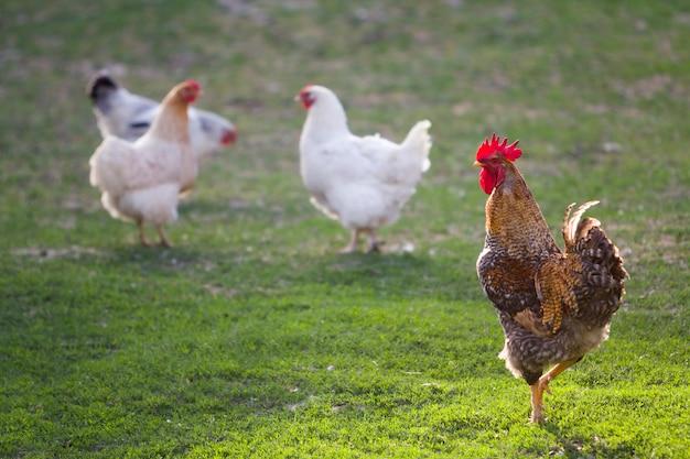 Groep volwassen gezonde witte kippen en grote bruine haan die op vers eerste groen gras buiten op de lentegebied voeden op heldere zonnige dag. kippenhouderij, gezond vlees en eierenproductieconcept.