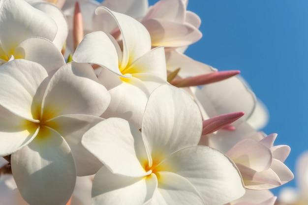 Groep witte bloemen (frangipani, plumeria) op een zonnige dag met natuurlijke achtergrond