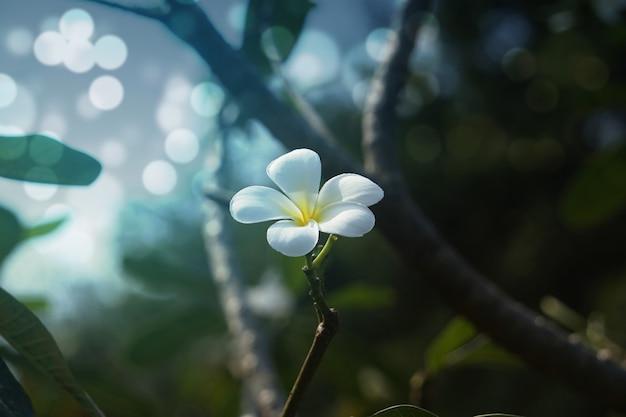 Groep witte plumeria-bloemen in het park.