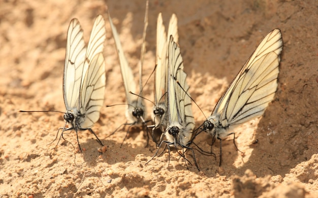 Groep witte vlinders in de natuur