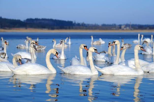 Groep witte zwanen die in blauw water zwemmen. cygnus olor