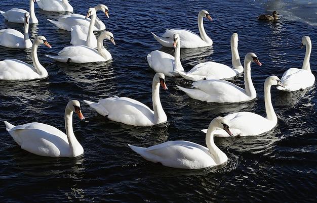 Groep witte zwanen zwemmen in het meer