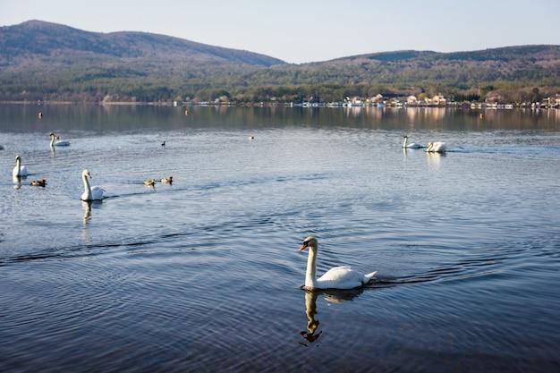 Groep witte zwanen zwemmen op yamanaka-meer in de ochtend, yamanashi, japan.