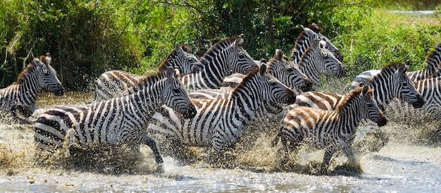 Groep zebra's die over het water lopen. kenia. tanzania. nationaal park. serengeti. maasai mara.