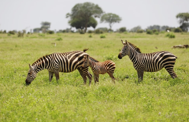 Groep zebra's grazen in tsavo east national park, kenia, afrika