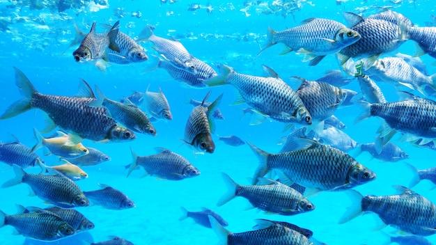 Groep zilveren weerhaakvissen in water.