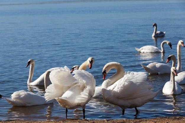 Groep zwanen in het voorjaar bij het meer