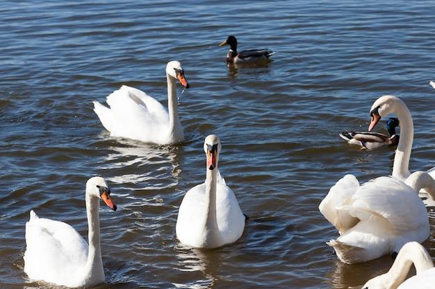 Groep zwanen in het voorjaar, mooie watervogels groep swan vogel op het meer in het voorjaar, meer of rivier met zwanen