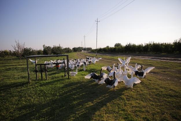 Groep zwanen loopt in het veld
