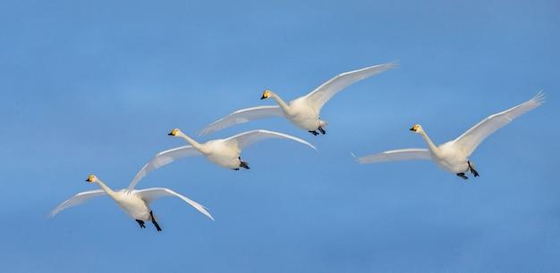 Groep zwanen tijdens de vlucht een blauwe hemel. japan. hokkaido. tsurui.