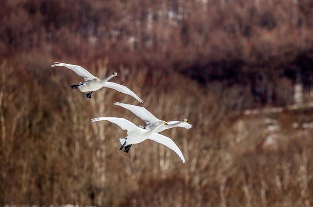 Groep zwanen tijdens de vlucht over de winterheuvels. japan. hokkaido. tsurui.
