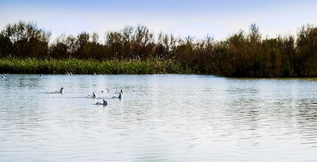 Groepen flamingo's op een rij met hun hoofd onder water en ondersteboven