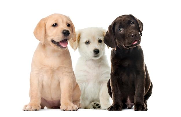 Groepen honden, labrador puppy's, puppy chocolade labrador retriever, voor witte achtergrond