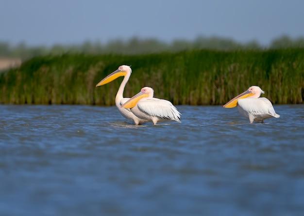 Groepen witte pelikanen die zich in het water bevinden