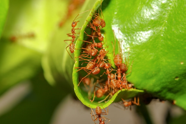 Groeps rode mier bouwen mierennest van groen blad in de natuur in bos thailand