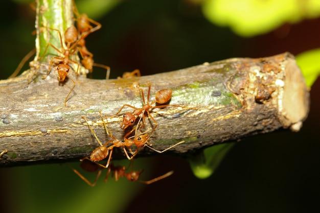 Groeps rode mier op stokboom in aard bij bosthailand