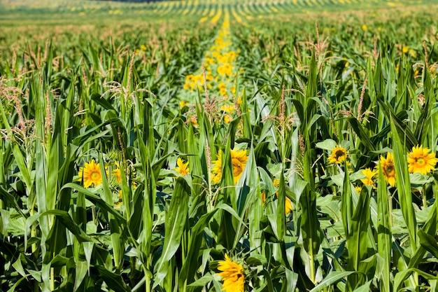 Groepsbloem van mooie gele jaarlijkse zonnebloem in de akkerbouw voor het kweken van oliehoudende zaden in de close-up van europa