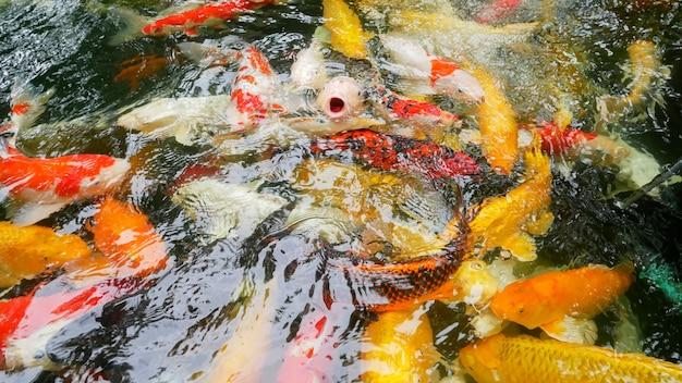 Groepskoivissen of kleurrijke fancy karpers zwemmen in de vijver