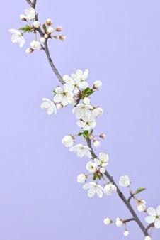Groet ansichtkaart met tedere bloeiende kersen tak