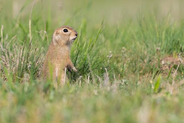 Grondeekhoorn spermophilus pygmaeus, hij staat in het gras en kijkt toe.