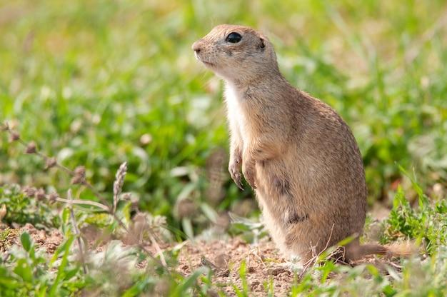 Grondeekhoorn (spermophilus pygmaeus) staande in het gras.