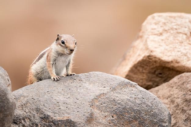 Grondeekhoorn staande op een rots