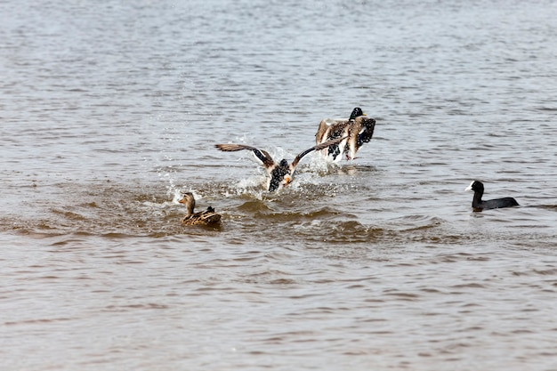 Grondgebied van meren en rivieren met vogels en eenden die daar leven, trekkende wilde eenden in europese meren, oost-europa met wilde eendenvogels
