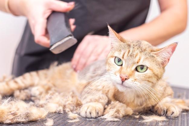 Groomer sneed kattenhaar in de salon. dierenverzorging in een dierenwinkel gebruikt een trimmer om kattenhaar te knippen.
