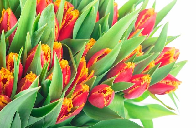 Groot boeket van rode tulpen op een witte achtergrond